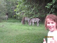 More Zebras!